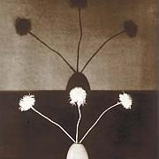 mapplethorpe crisantemi 1983