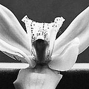 mapplethorpe flowers 15