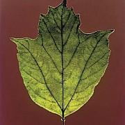 mapplethorpe foglia 1987 colore