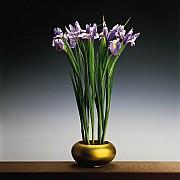 mapplethorpe irises 1988 3 color