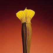 mapplethorpe jack in the pulpit 1988 color