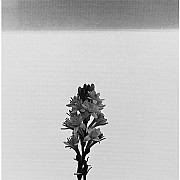 mapplethorpe mapplethorpe tuberosa