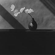 mapplethorpe orchidea 1982 4