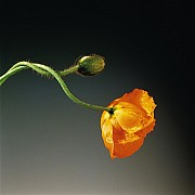 mapplethorpe poppy 1988 color