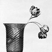 mapplethorpe tulipani 1982