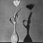 mapplethorpe tulipano 1983