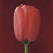 mapplethorpe tulipano 1988 6