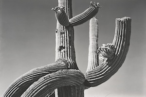 Edward Weston - Saguaro 1941