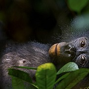 christian ziegler bonobos our unknown cousins