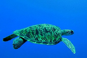 Tataruga di mare nuota lenta e tranquilla