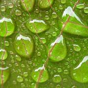 gocce di pioggia sulla jatropha