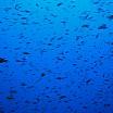 banco di pesci e mare blu c alessio gagliardo