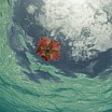david-doubilet-an-hibiscus-blossom-floats-in-the-waters-off-st-john-island
