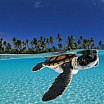david-doubilet-baby-green-sea-turtle-swimming-in-a-tropical-paradise