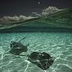 david-doubilet-two-stingrays-cruise-the-shallows-of-the-caribbean-sea