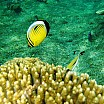pesci farfalla c alessio gagliardo