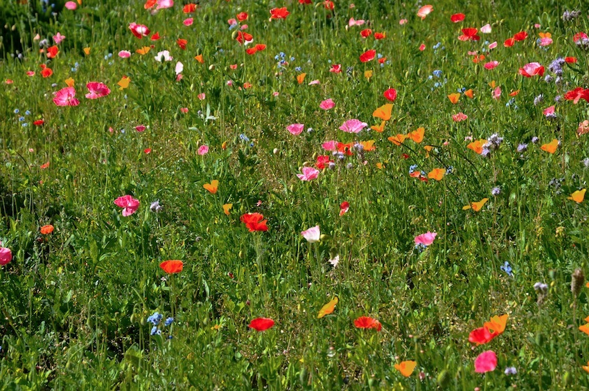 Prato fiorito a Chamois a Settembre