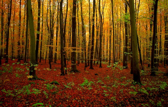 Autunno nella foresta di Soignes, Belgio