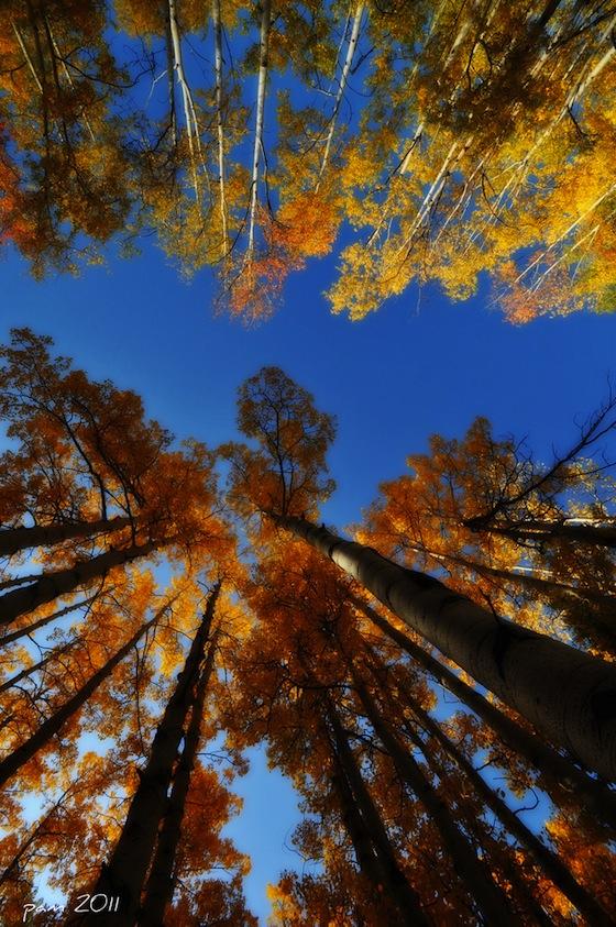 Pioppi e cielo azzurro